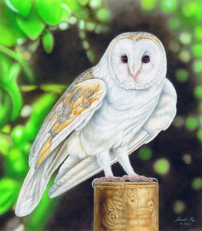 Joanna May Barn Owl