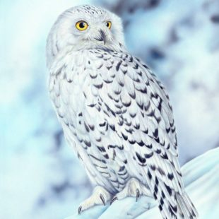 Joanna May Snowy Owl