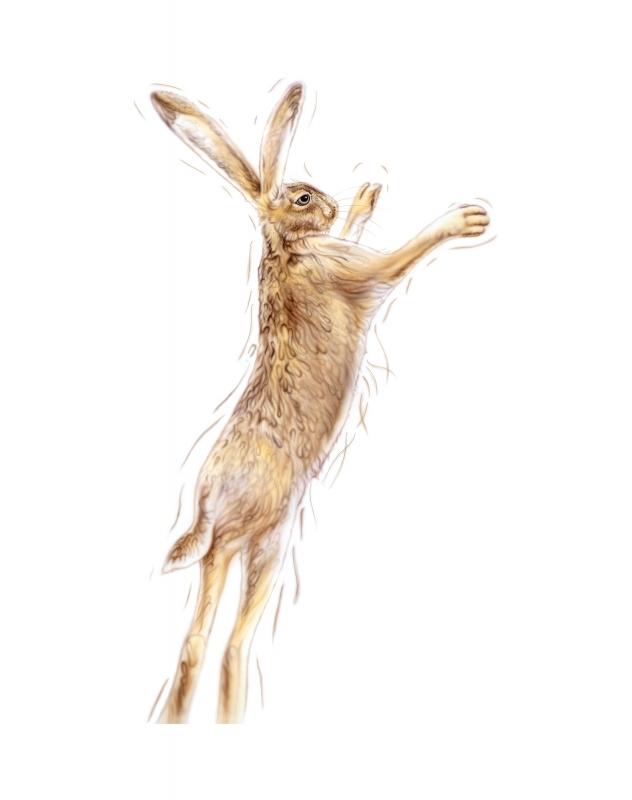 Golden Hare Male