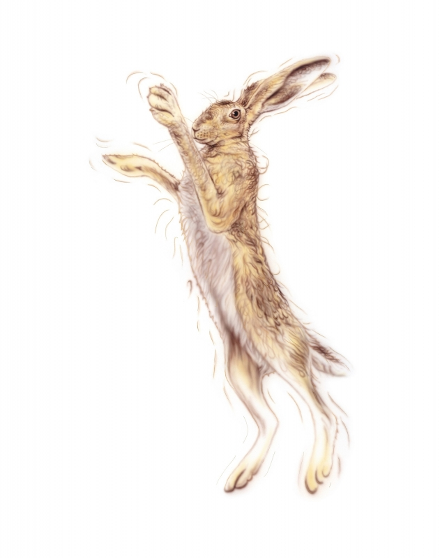 Golden Hare Female