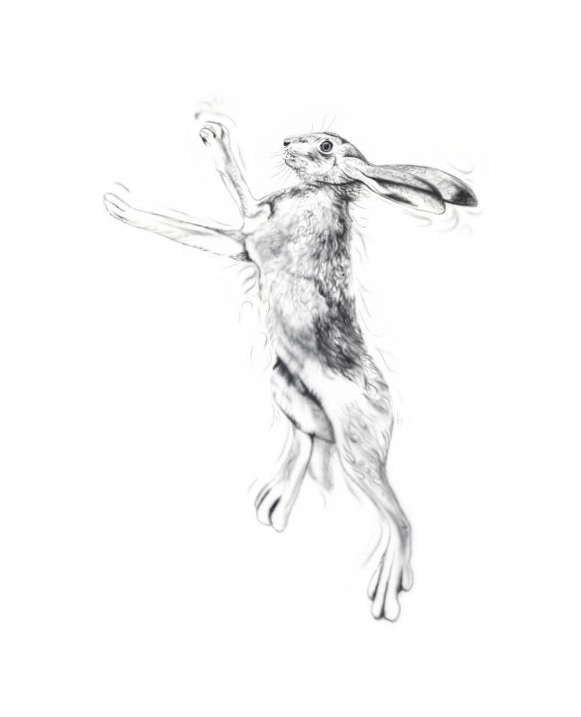 Silver Hare Male